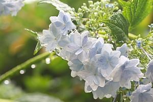 紫陽花*隅田の花火