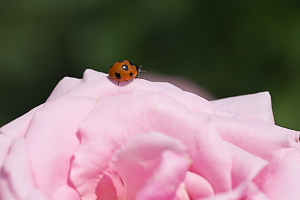 春薔薇と天道虫
