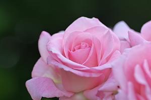 春薔薇*ブライダルピンク