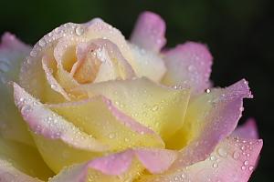 春薔薇*ピース