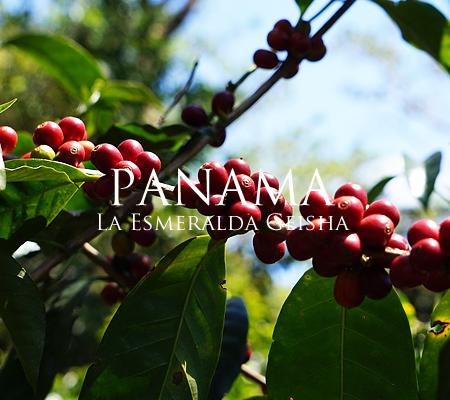 ゲイシャ種はスペシャルティコーヒーの世界で最も注目を集めている品種です