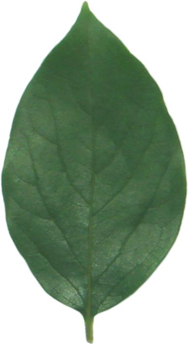 かきの生葉