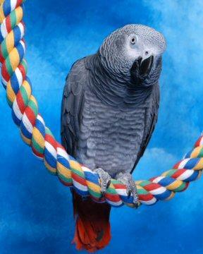 """足に優しく、カジっても楽しいコットンパーチ。<br><b>Lサイズの71cm </b>( 大型~超大型の鳥さん向き)。<br><br>自由に形を変えられます!<br>レイアウトに合わせたり、鳥さんの気分転換に形を変えてみたり。<br>縦にも横にも、アーチ形にも設置できます。<br>ケージ内の移動をスムースにしたり、デッドスペースの有効活用したりと便利です。<br><br>鳥さんの脚と足の裏の筋肉を良い状態に保ちます。<br>夏は熱がこもりづらく、冬は冷えづらいのも嬉しいところ。<br><br>長さは3種類からお選び頂けます。<br>●<a href=""""http://saftyfunbirdtoy.cart.fc2.com/ca22/320/p-r-s/"""" title=""""商品ページへ"""">短めの<b>53cm</b>(Lサイズ)</a><br>●<a href=""""http://saftyfunbirdtoy.cart.fc2.com/ca22/407/p-r-s/"""" title=""""商品ページへ"""">長めの<b>91.5cm</b>(Lサイズ)</a><br><br>★<a href=""""http://saftyfunbirdtoy.cart.fc2.com/ca22/337/p-r-s/"""" title=""""商品ページへ"""">小型用・S★81cmはこちら。</a><br><a href=""""http://saftyfunbirdtoy.cart.fc2.com/ca22/338/p-r-s/"""" title=""""商品ページへ"""">★中型用・M★81cmはこちら</a>。<br>"""