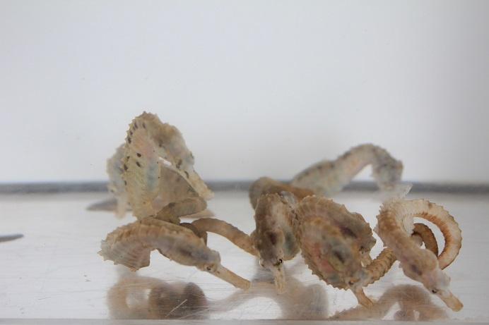 ツノオトシゴは保護色で体色が変化しますが、ホワイトが発色しやすい個体を選定しております。