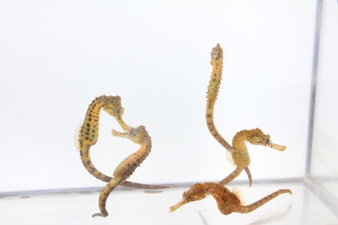 *タツノオトシゴは保護色で体色が変化しますが、イエローが発色しやすい個体を選定しております。