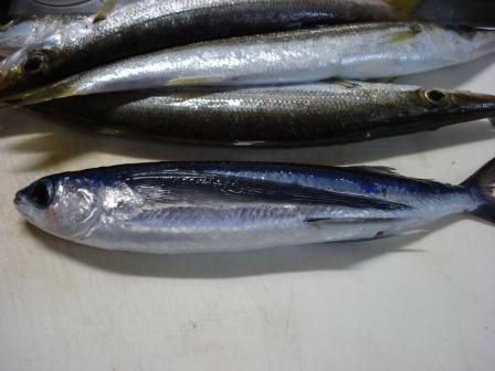「飛魚(あご)」は島根の県魚!