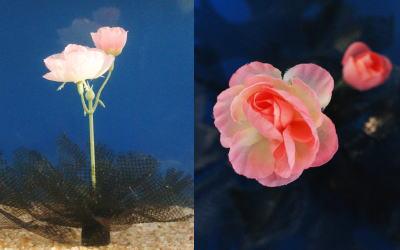 メダカの産卵藻 はなさくデザラン(水中花タイプ ラナンキュラス) 1個。