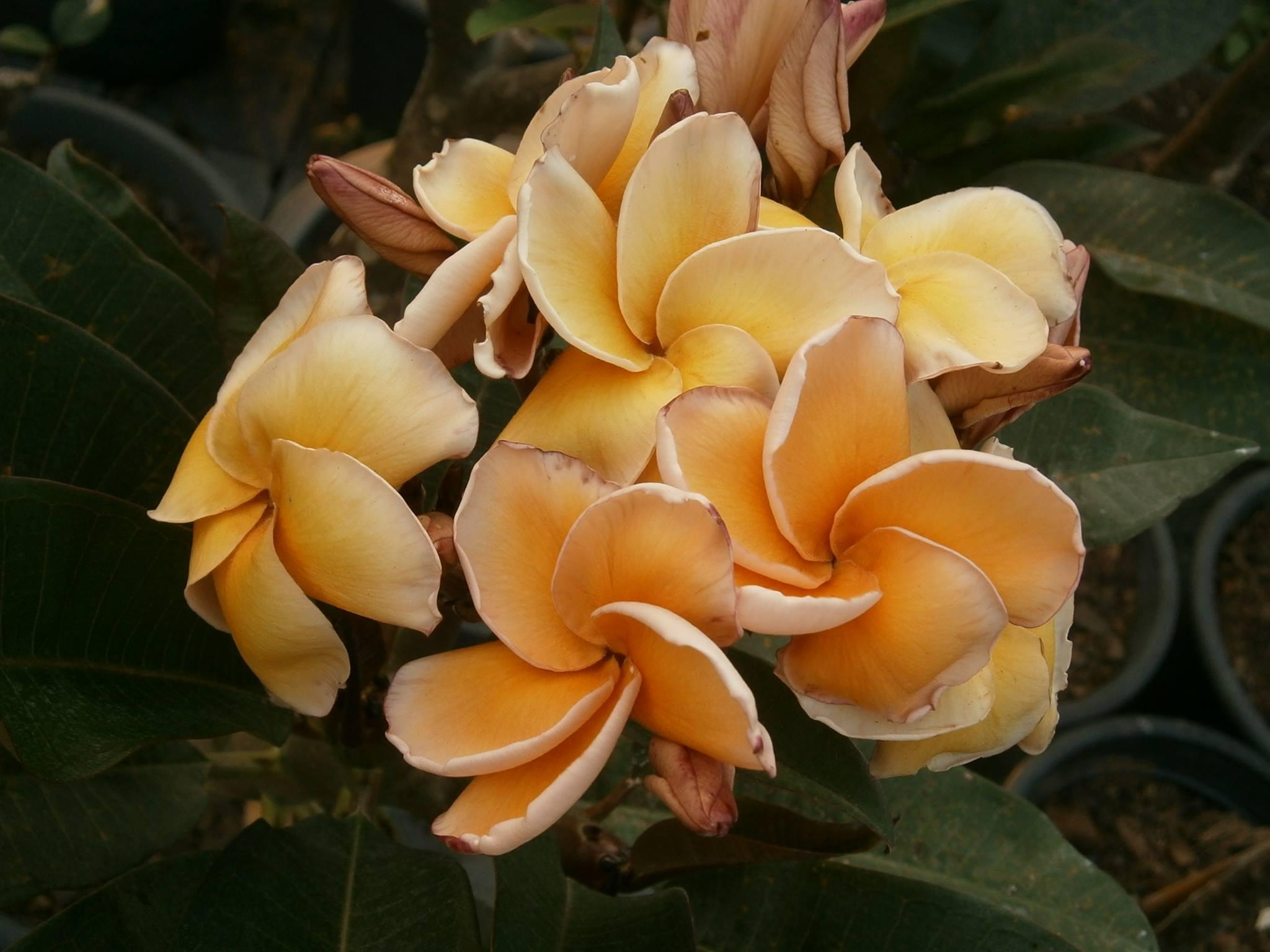 気温や日照条件により花色が変化します。